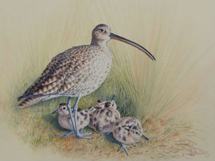 Supporting the curlew
