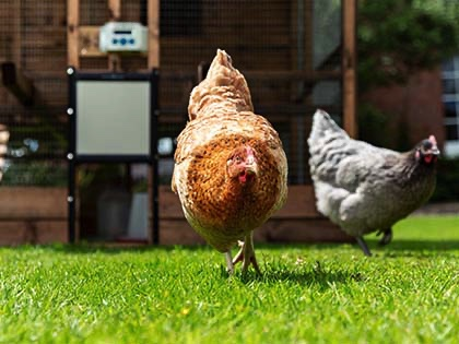 Keeping hens has never been more popular, so here are five top tips to keep your feathered friends laying all summer